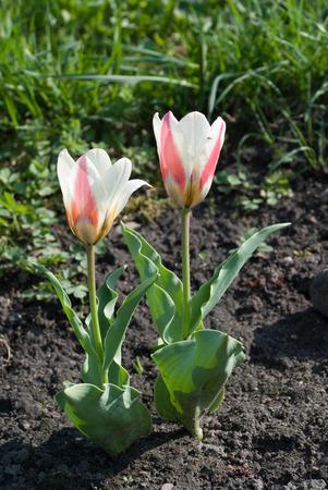 Tulipa Kaufmanniana in early morning. Latvia, Europe Stock Photo