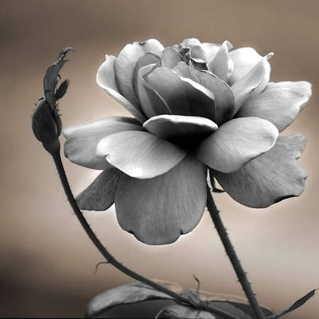 duotone: duotone rose