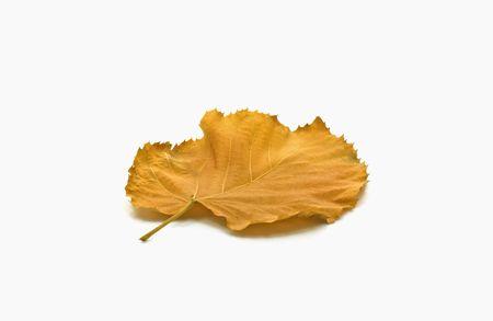 Feuilles jaunes sur fond blanc � l'automne Banque d'images