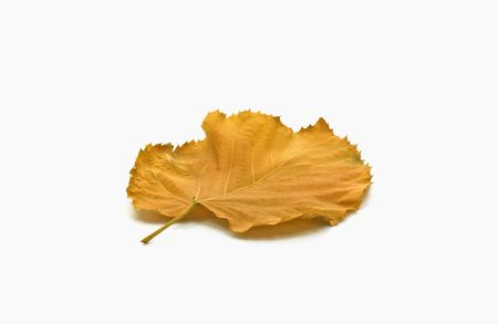 Yellow leaf on white background in autumn