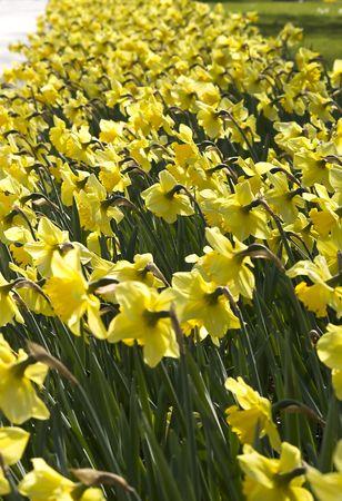 Tulips under sunlight Stock Photo