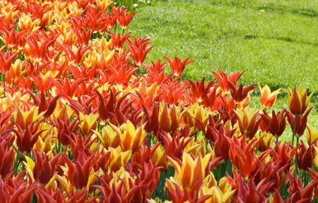 Bi-colored tulips in the park