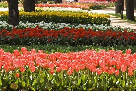 Tulips shoot in festive in Istanbul