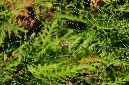 Brown spider in the center of own web with water drops over the leafage Stock Photo