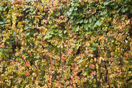 Wall of leaves during the fall Stock Photo
