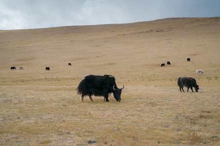 steppe: Wild yak in the steppe eating grass