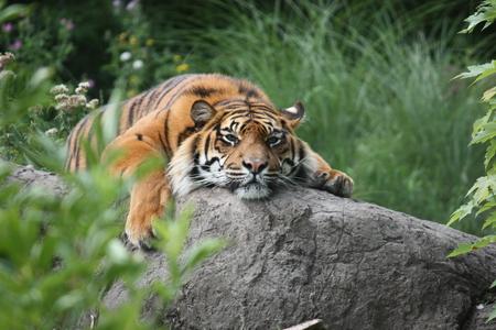 lounging: lounging tiger