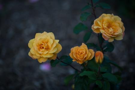 Roses 版權商用圖片