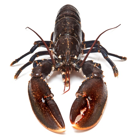 Fresh lobster (European Common) isolated on a white studio background.
