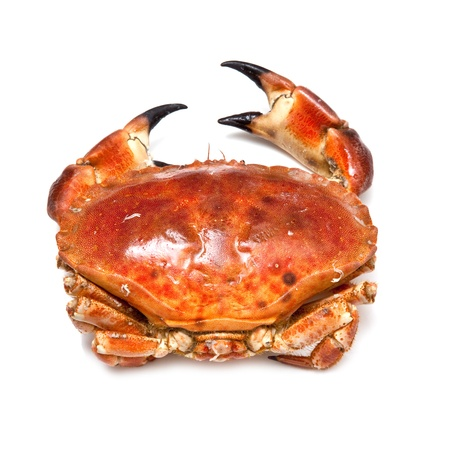Cooked edible brown crab from the Orkney Isles, isolated on a white studio background.
