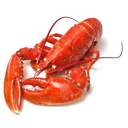 lobster: 흰색 스튜디오 배경에 요리 랍스터