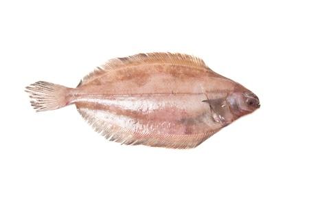 Megrim or Cornish sole isolated on a white studio background.