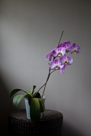 purple orchid: Purple orchid in full bloom