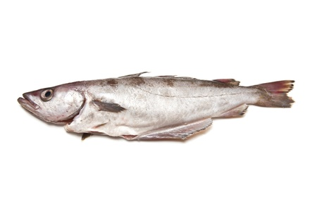 Pollock or Pollack fish isolated on a white studio background.