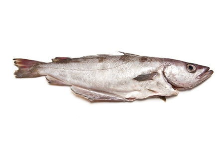 Pollock or Pollack fish isolated on a white studio background. photo