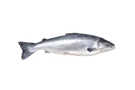 Atlantic Salmon Salmo solar whole isolated on a white studio background