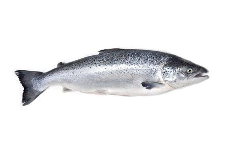 farmed: Atlantic Salmon Salmo solar whole isolated on a white studio background
