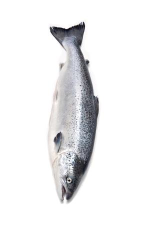 salmo: Atlantic Salmon Salmo solar whole isolated on a white studio background
