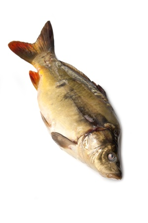 Mirror carp fish on a white background  photo