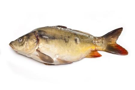 mirror carp: Mirror carp fish on a white background  Stock Photo