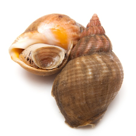Uncooked fresh common whelks or sea snails isolated on a white studio background  Traditionally  pickled and eaten at the seaside  Stock Photo