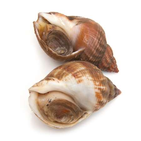 gastropod: Uncooked fresh common whelks or sea snails isolated on a white studio background  Traditionally  pickled and eaten at the seaside  Stock Photo