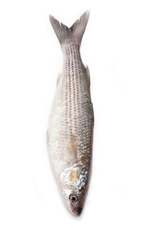 mullet: Grey Mullet or flathead mullet fish (Mugil cephalus) isolated on a white studio background.