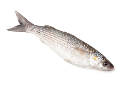 grey mullet: Grey Mullet or flathead mullet fish (Mugil cephalus) isolated on a white studio background.
