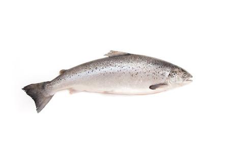salmo: Whole Scottish Atlantic Salmon Salmo salar  3 1kg   Isolated on a white studio background  Stock Photo