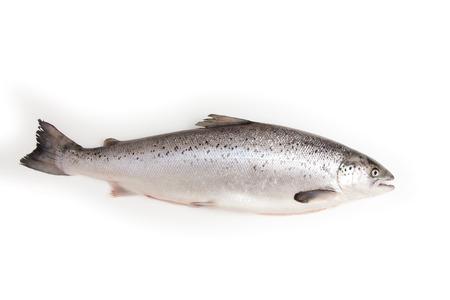 salmo: Whole Scottish Atlantic Salmon Salmo salar(3.1kg). Isolated on a white studio background.