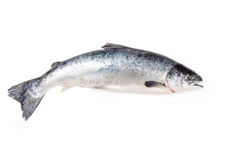 whole food: Scottish Atlantic Salmon (Salmo solar) whole fish, isolated on a white studio background.