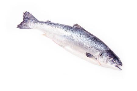 salmo: Scottish Atlantic Salmon (Salmo solar) whole fish, isolated on a white studio background.