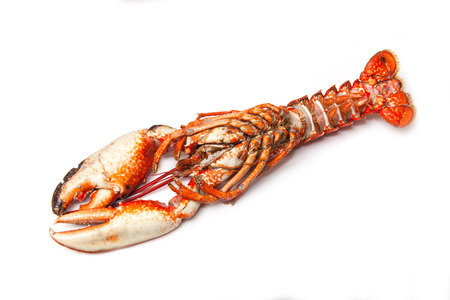 Cooked European common lobster isolated on a white studio background. photo