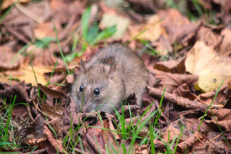 winchester: Common brown Rat ( Rattus norvegicus) also known as a Norway rat, Winchester,Hampshire, England, United Kingdom.