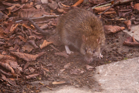 winchester: Ratto comune marrone (Rattus norvegicus), noto anche come un topo Norvegia, Winchester, Hampshire, Inghilterra, Regno Unito.