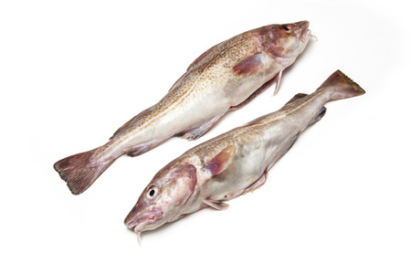 salt water fish: A couple of whole Atlantic cod (Gadus morhua) fish, Isolated on a white studio background.