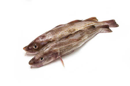A couple of whole Atlantic cod (Gadus morhua) fish, Isolated on a white studio background.