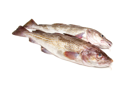 saltwater: Whole raw atlantic cod (Gadus morhua) fish, Isolated on a white studio background.