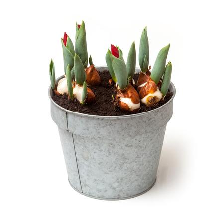 tulips isolated on white background: Gualvanised pot of sproutinf Tulips isolated on a white studio background.