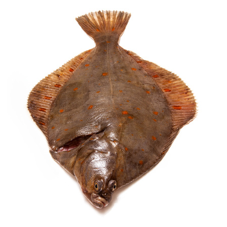 salt water fish: Whole Plaice flatfish isolated on a white studio background.