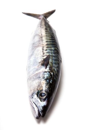 saltwater eel: Whole Atlantic mackerel (Scomber scombrus) fish isolated on a white stduio background. Stock Photo