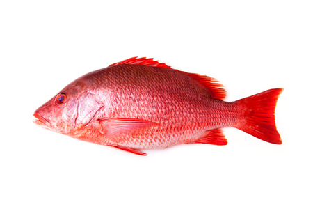 Northern Red Snapper Lutjanus campechanusfish isolated on a white background.
