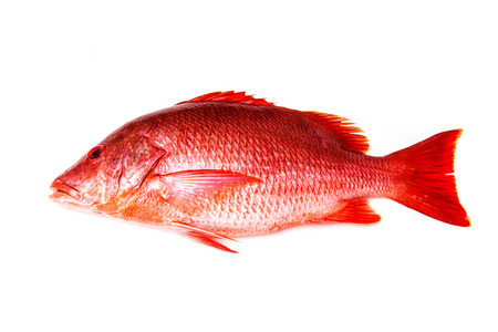 salt water fish: Northern Red Snapper Lutjanus campechanusfish isolated on a white background.