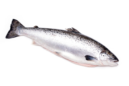 Atlantic salmon fish isolated on a white studio background.