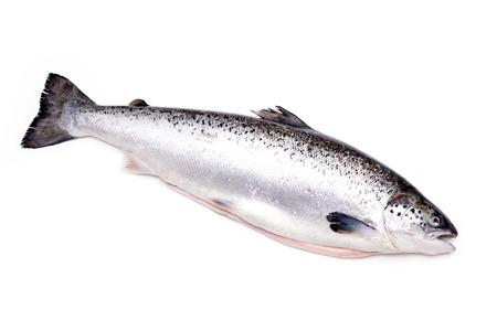 Poisson de saumon atlantique isolé sur un fond de studio blanc.
