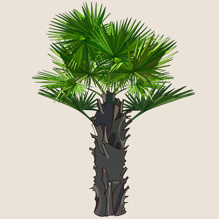 thick: palm with spreading leaves on a thick trunk