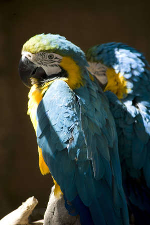 blue parrot on perch