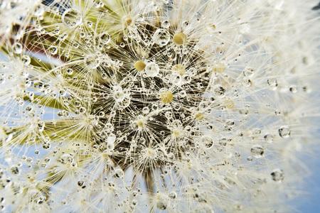 location shot: Close up of common dandelion