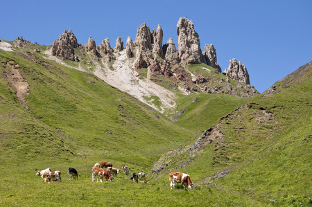 location shot: Italy,Cows grazing in meadow at South Tyrol LANG_EVOIMAGES