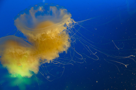 stingers: Canada, Vancouver Aquarium, Mauve stinger jellyfish